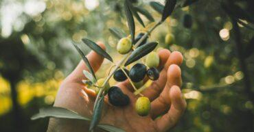 olives_panellinika_cover
